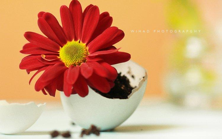 flower, petals, still life, gerbera, composition, wihad