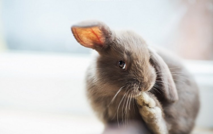 grey, ears, rabbit, bunny