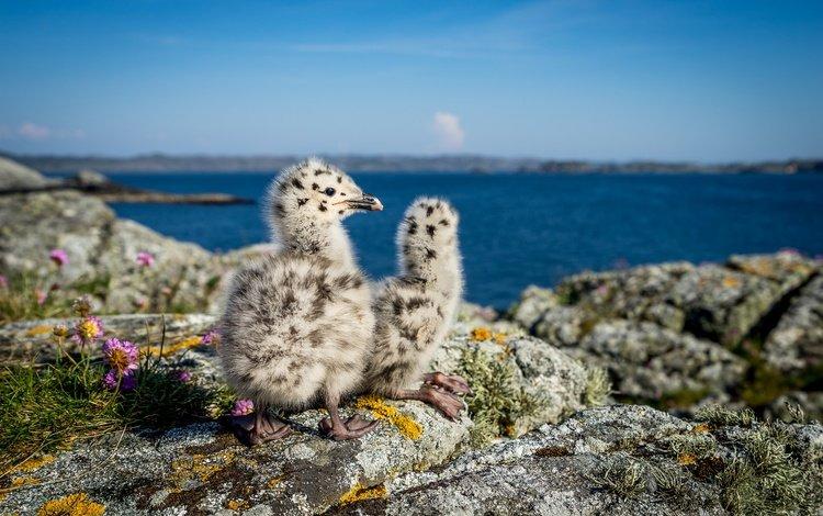 nature, stones, sea, seagulls, norway, chicks, bokeh