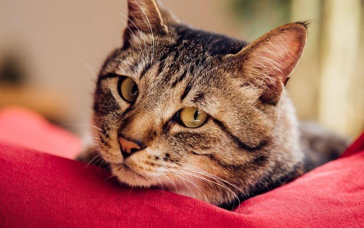 глаза, фон, кот, мордочка, усы, кошка, взгляд, eyes, background, cat, muzzle, mustache, look