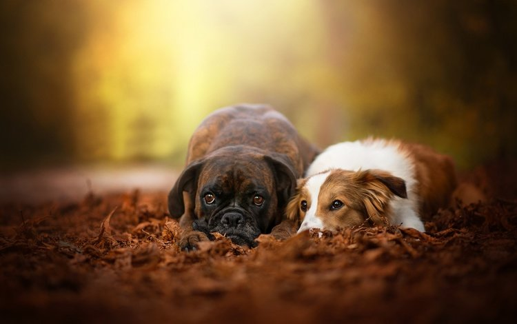 листья, осень, пара, собаки, боке, боксер, бордер-колли, две собаки, leaves, autumn, pair, dogs, bokeh, boxer, the border collie, two dogs
