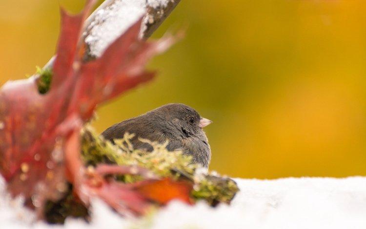 autumn, sheet, bird, gray junco
