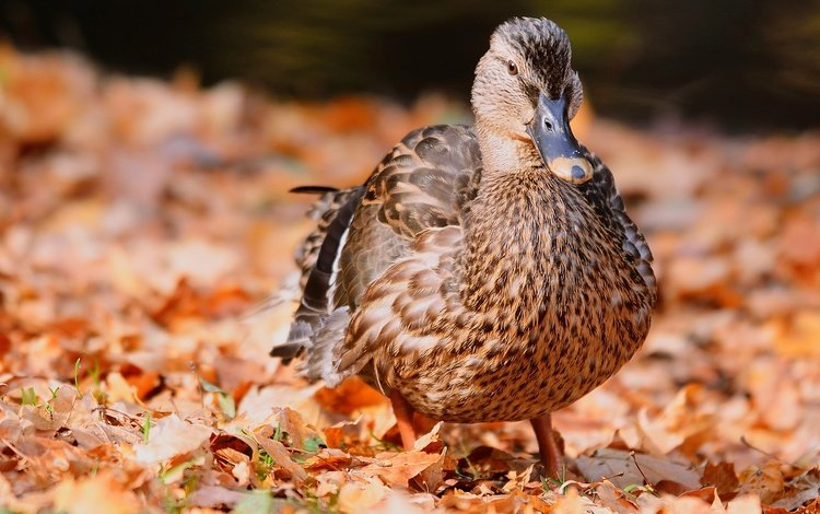 природа, листва, осень, птица, перья, утка, nature, foliage, autumn, bird, feathers, duck