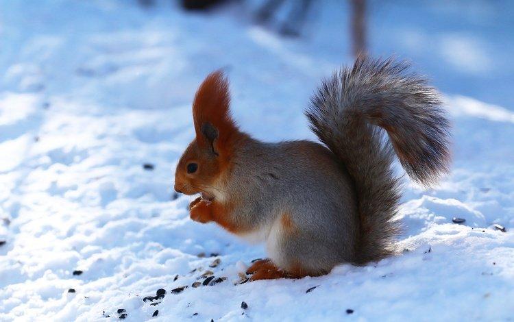 снег, лес, зима, белка, семечки, белочка, snow, forest, winter, protein, seeds, squirrel