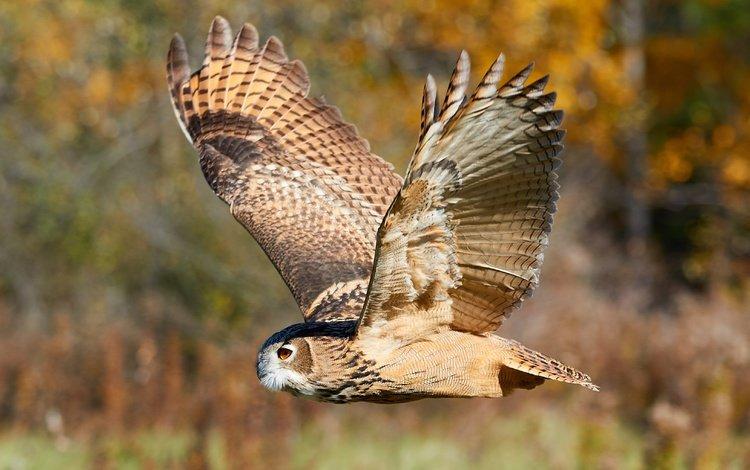 сова, боке, природа, филин, лес, полет, крылья, размытость, птица, охота, owl, bokeh, nature, forest, flight, wings, blur, bird, hunting