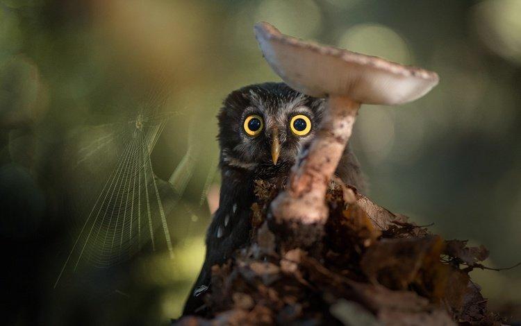 сова, природа, птица, гриб, паутина, боке, owl, nature, bird, mushroom, web, bokeh