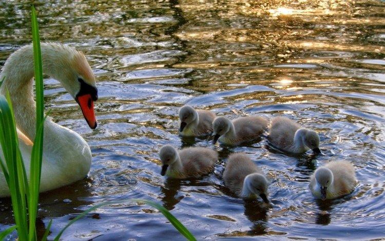 трава, вода, лебедь, птенцы, детеныши, grass, water, swan, chicks, cubs