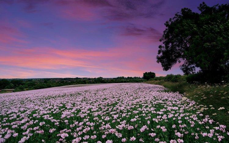 цветы, закат, поле, маки, англия, гэмпшир, flowers, sunset, field, maki, england, hampshire