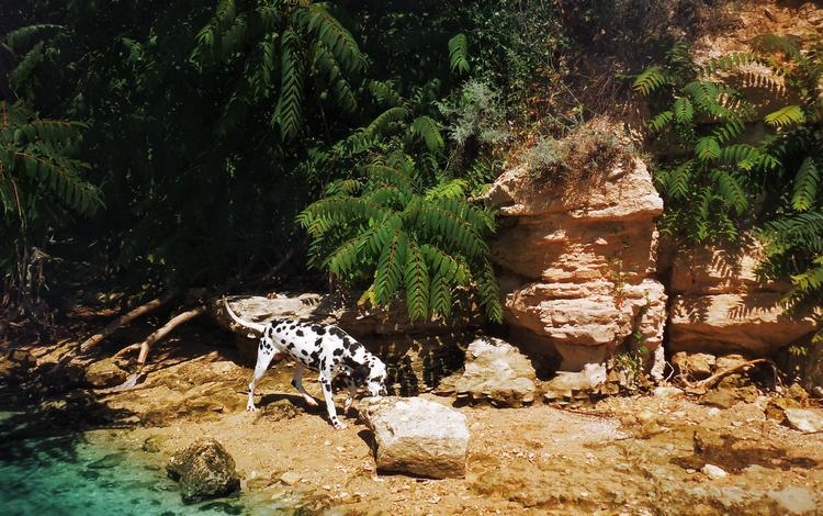 река, природа, собака, далматин, далматинец, imperium legionis, питомник, river, nature, dog, dalmatian, dalmatians, nursery