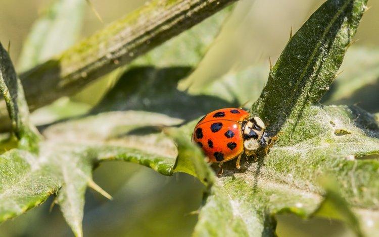 leaves, beetle, insect, background, ladybug, plant