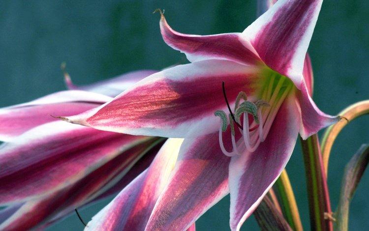 цветы, макро, лепестки, тычинки, лилия, flowers, macro, petals, stamens, lily