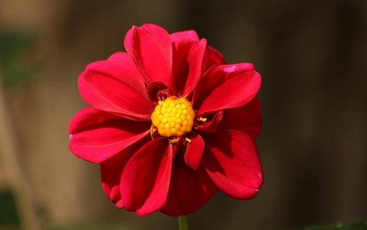 фон, цветок, лепестки, георгин, background, flower, petals, dahlia