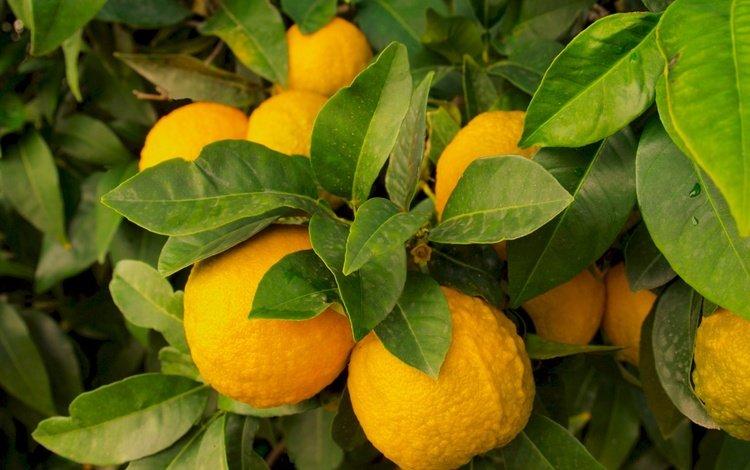 nature, leaves, fruit, lemon, lemons, citrus