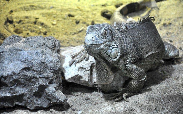 animals, dragon, lizard, gecko, fauna, reptiles, triton, newt