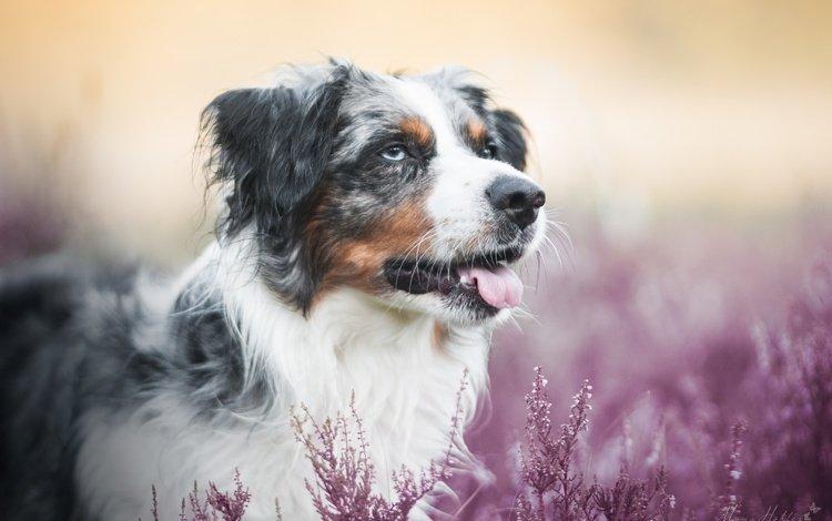 морда, собака, язык, боке, вереск, австралийская овчарка, аусси, face, dog, language, bokeh, heather, australian shepherd, aussie