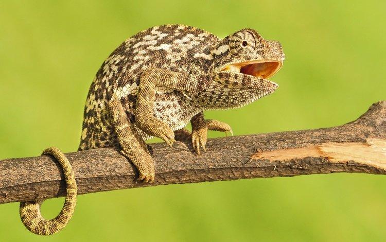 branch, lizard, chameleon