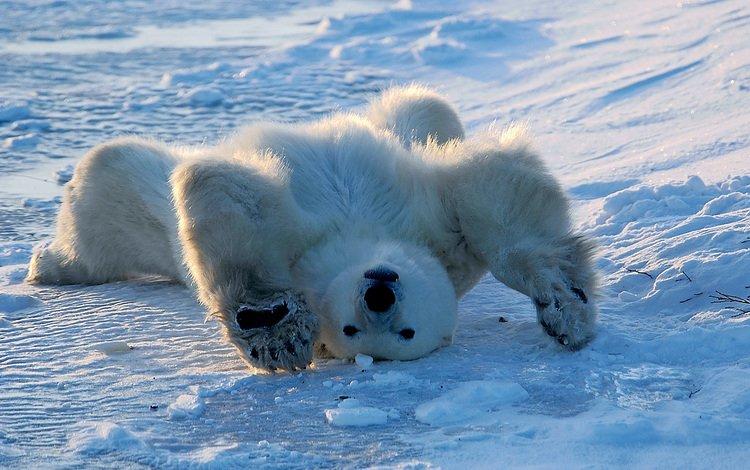 белый медведь, polar bear