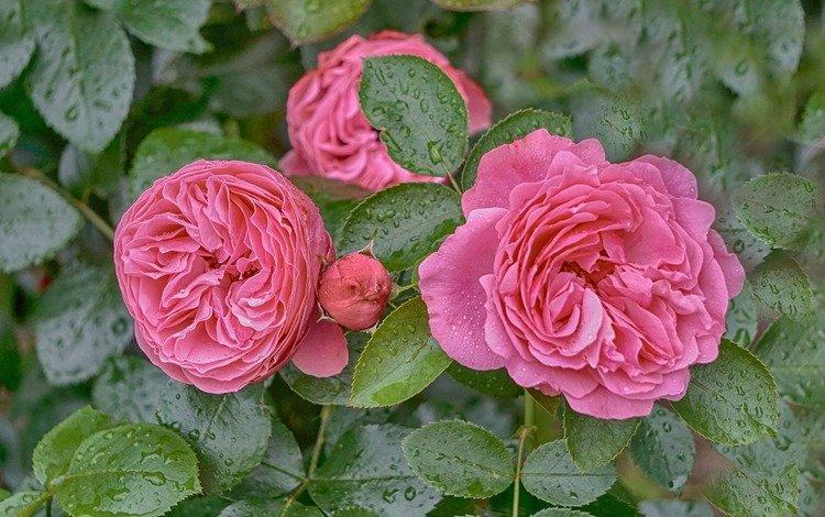 цветы, листья, капли, розы, лепестки, куст, flowers, leaves, drops, roses, petals, bush