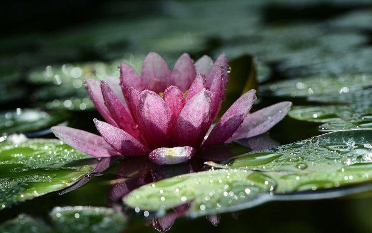 листья, цветок, капли, лепестки, пруд, кувшинка, водяная лилия, leaves, flower, drops, petals, pond, lily, water lily