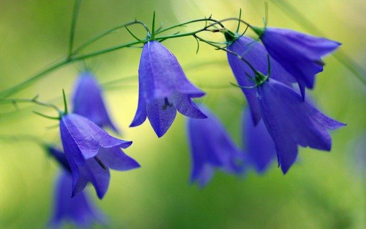 flowers, nature, bells