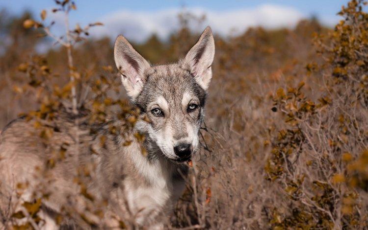 природа, животные, мордочка, взгляд, собака, щенок, волкособ, nature, animals, muzzle, look, dog, puppy, volkosob