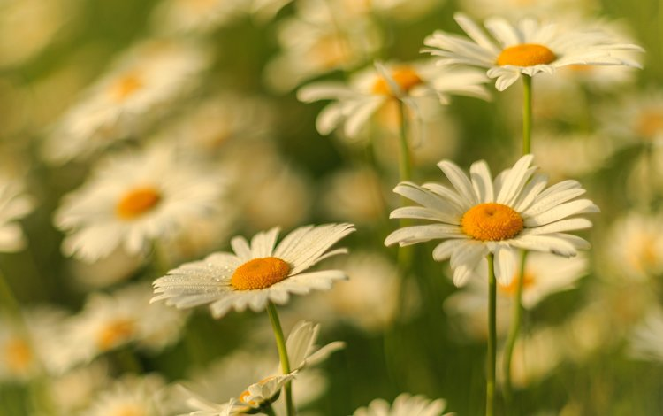цветы, лепестки, размытость, ромашки, белые, стебли, flowers, petals, blur, chamomile, white, stems