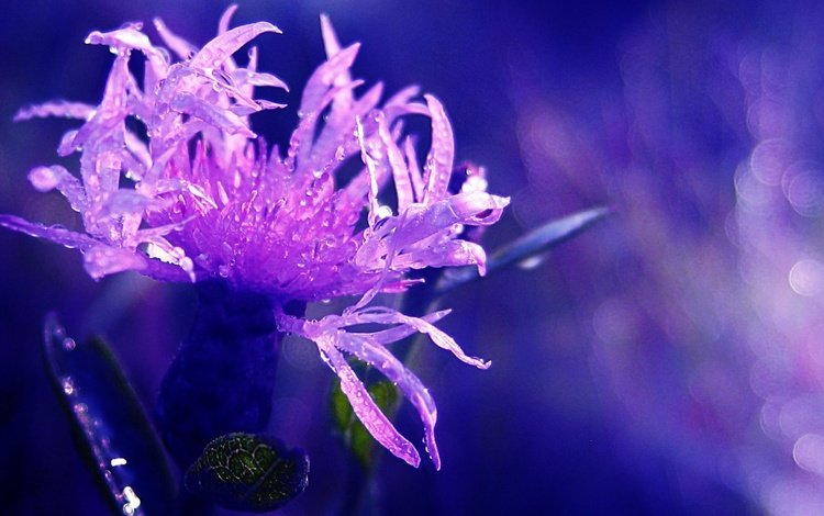макро, цветок, роса, капли, василек, боке, macro, flower, rosa, drops, cornflower, bokeh