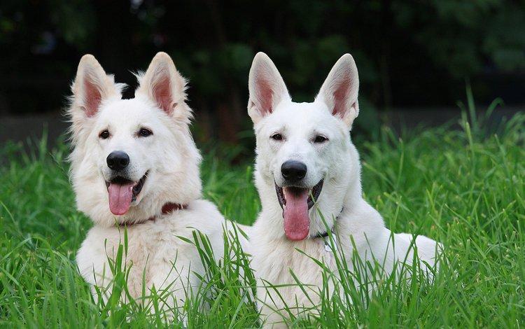 трава, взгляд, язык, собаки, мордочки, овчарка, белая швейцарская овчарка, grass, look, language, dogs, faces, shepherd, the white swiss shepherd dog