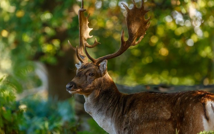 природа, олень, блики, рога, nature, deer, glare, horns
