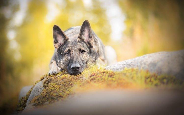 muzzle, look, dog, german shepherd