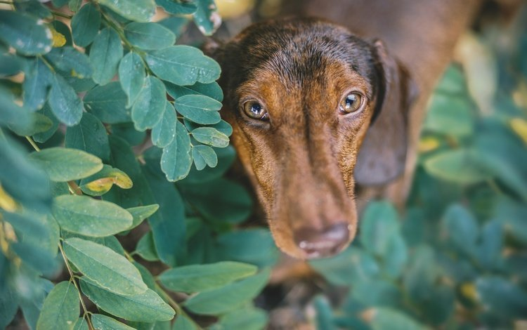 leaves, muzzle, branches, look, dog, puppy, dachshund