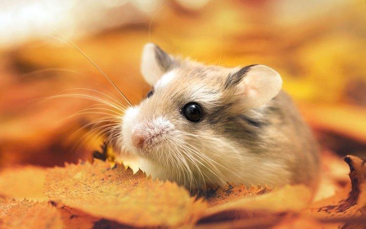 листья, макро, мордочка, усы, взгляд, осень, хомяк, thunderi, leaves, macro, muzzle, mustache, look, autumn, hamster