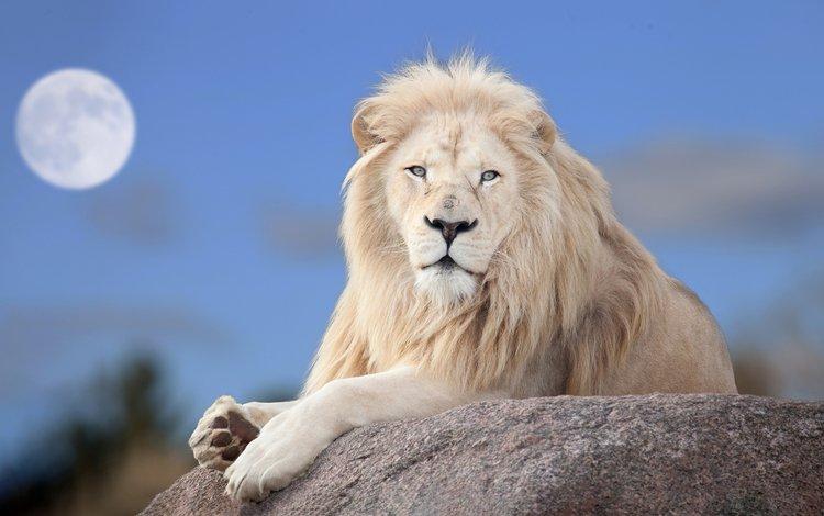 луна, хищник, большая кошка, лев, белый лев, the moon, predator, big cat, leo, white lion