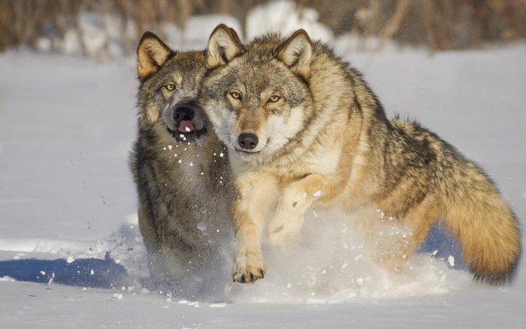 снег, зима, хищники, волки, mlalancettee, snow, winter, predators, wolves