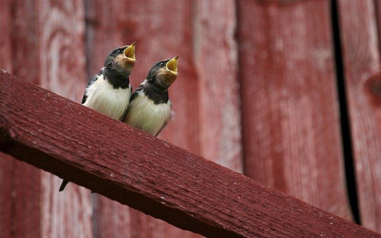 птицы, птенцы, сорока, желторотики, сороки, birds, chicks, forty, wet behind the ears, magpies