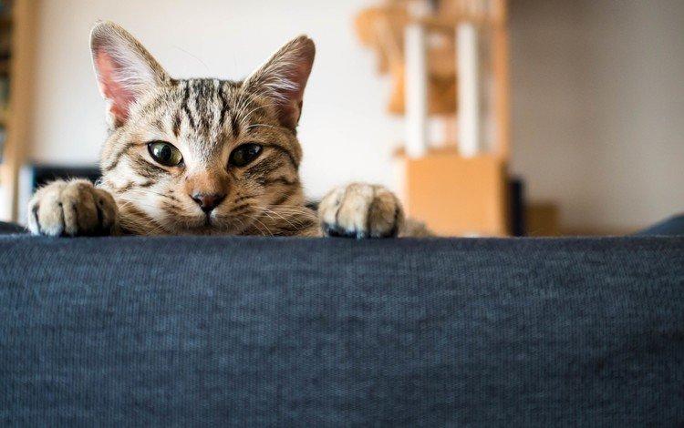глаза, морда, кот, усы, лапы, кошка, взгляд, ушки, eyes, face, cat, mustache, paws, look, ears