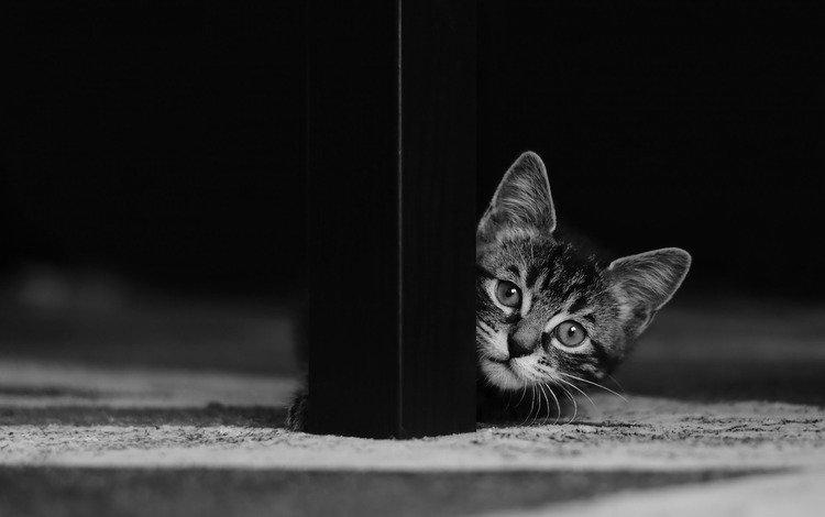 кот, мордочка, усы, кошка, взгляд, чёрно-белое, котенок, cat, muzzle, mustache, look, black and white, kitty