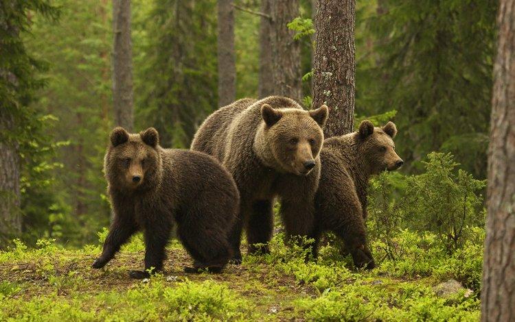 медведи, медведица, медвежата, sylwia domaradzka, bears, bear