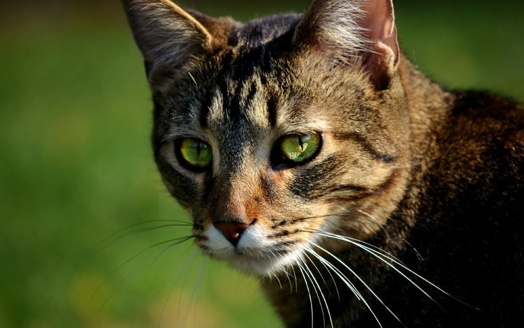 кот, мордочка, усы, кошка, взгляд, боке, cat, muzzle, mustache, look, bokeh