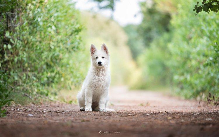 собака, щенок, белая швейцарская овчарка, dog, puppy, the white swiss shepherd dog