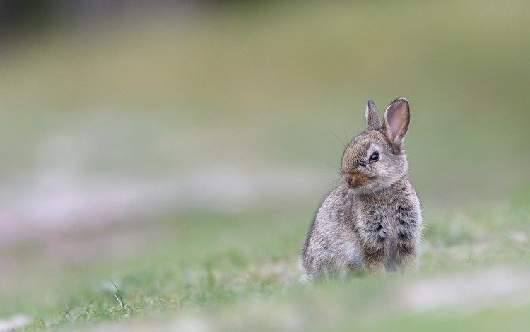 трава, размытость, ушки, кролик, животное, заяц, grass, blur, ears, rabbit, animal, hare