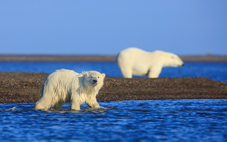 медведи, аляска, арктика, белые медведи, david swindler, bears, alaska, arctic, polar bears
