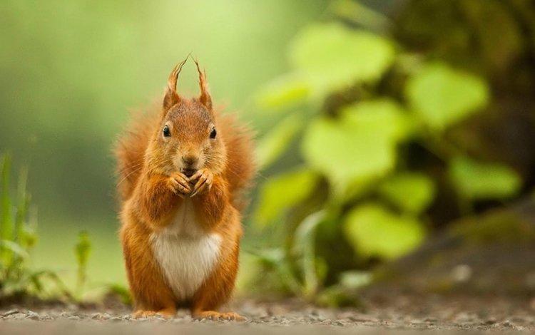 белка, зверек, белочка, грызун, protein, animal, squirrel, rodent
