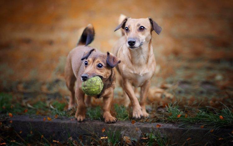 взгляд, игрушка, мячик, собаки, мордочки, aleksandra chmiel, look, toy, the ball, dogs, faces