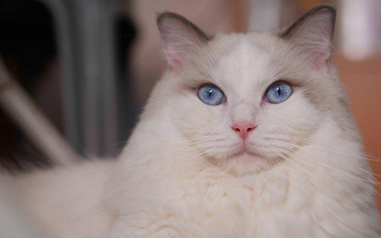 кот, мордочка, усы, кошка, взгляд, голубые глаза, рэгдолл, cat, muzzle, mustache, look, blue eyes, ragdoll