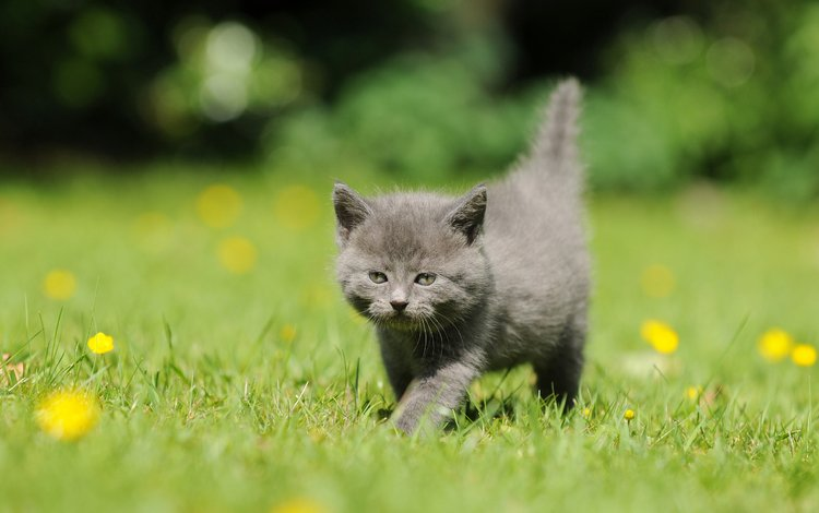 цветы, трава, кот, мордочка, усы, кошка, взгляд, котенок, одуванчики, dandelions, flowers, grass, cat, muzzle, mustache, look, kitty