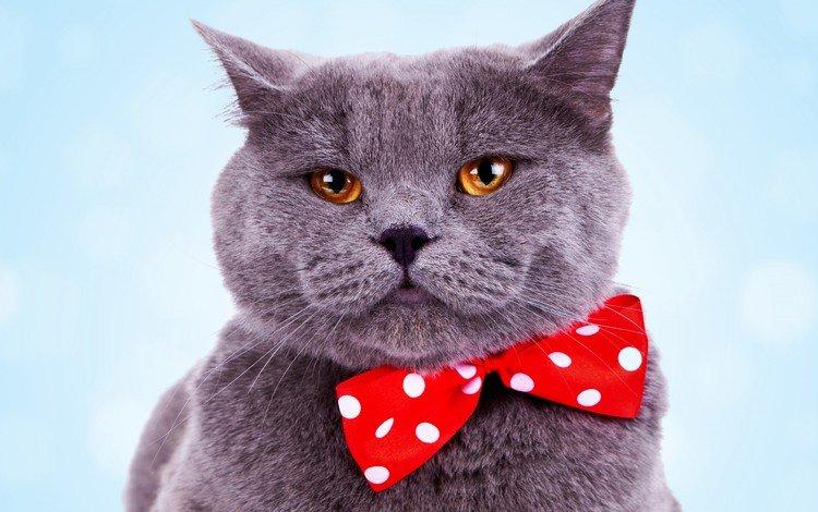 кот, мордочка, усы, кошка, взгляд, бабочка, британец, желтые глаза, cat, muzzle, mustache, look, butterfly, british, yellow eyes