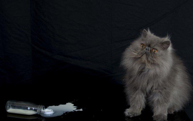 кот, мордочка, усы, кошка, взгляд, черный фон, молоко, персидская, cat, muzzle, mustache, look, black background, milk, persian