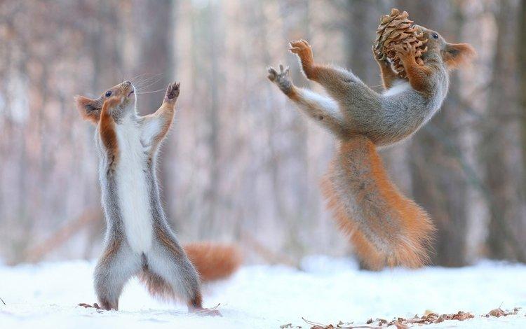 снег, игра, шишка, белки, белочки, snow, the game, bump, proteins, squirrels