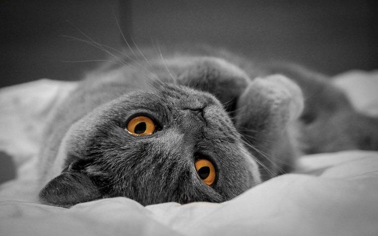 кот, мордочка, усы, кошка, взгляд, британец, желтые глаза, cat, muzzle, mustache, look, british, yellow eyes